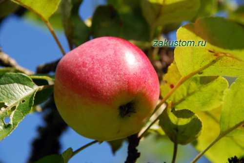 Яблоня не плодоносит, почему, чем помочь яблоне,   Сайт о ...
